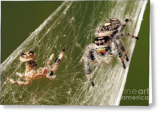 Empty Eyes Greeting Cards - Regal Jumping Spider Greeting Card by Scott Linstead
