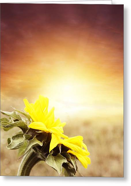 Beauty In Nature Greeting Cards - Sunflower Greeting Card by Les Cunliffe