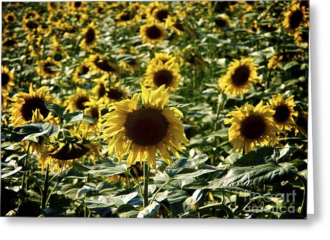 Cultivation Greeting Cards - Sunflowers Greeting Card by Bernard Jaubert