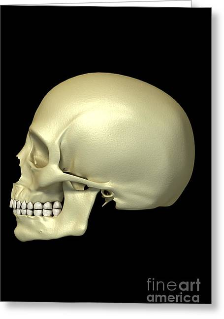 Frontal Bone Greeting Cards - The Skull Greeting Card by Science Picture Co