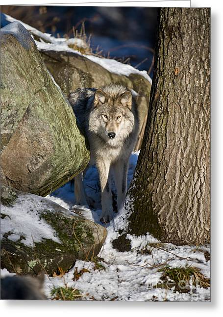 Animals Greeting Cards - Timber Wolf Greeting Card by Michael Cummings