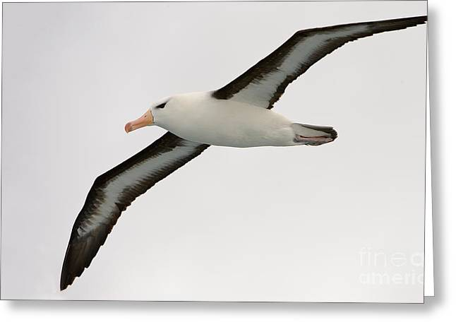 Black-browed Albatross Greeting Card by John Shaw