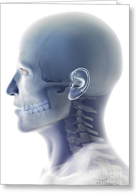 Zygomatic Bones Greeting Cards - Bones Of The Head And Neck Greeting Card by Science Picture Co