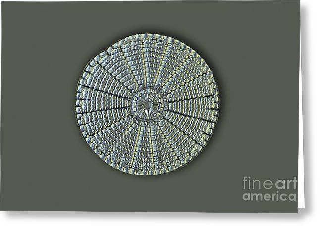 Striae Greeting Cards - Diatom, Light Micrograph Greeting Card by Frank Fox
