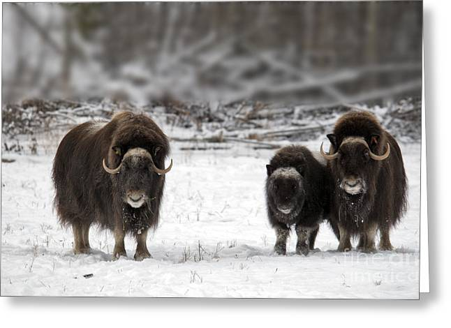 Muskox Greeting Card by Mark Newman
