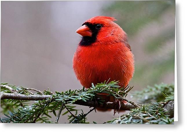 Northern Cardinal Male Greeting Card by Dan Ferrin