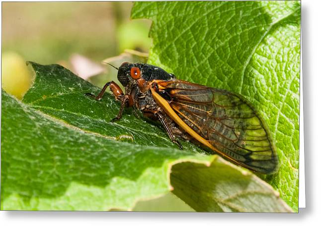 Grape Leaves Greeting Cards - 17 Year Cicada 2 Greeting Card by Lara Ellis