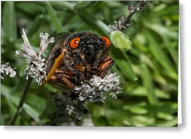 Cicada Greeting Cards - 17 Year Cicada Greeting Card by Lara Ellis