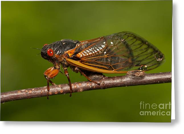 Cicada Greeting Cards - 17-year Periodical Cicada I Greeting Card by Clarence Holmes