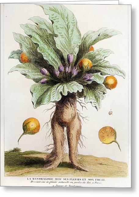 1725 1844 Living Mandrake Plant Greeting Card by Paul D Stewart