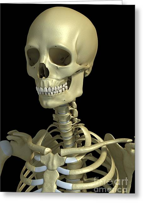 Notched Collar Greeting Cards - Bones Of The Head And Neck Greeting Card by Science Picture Co