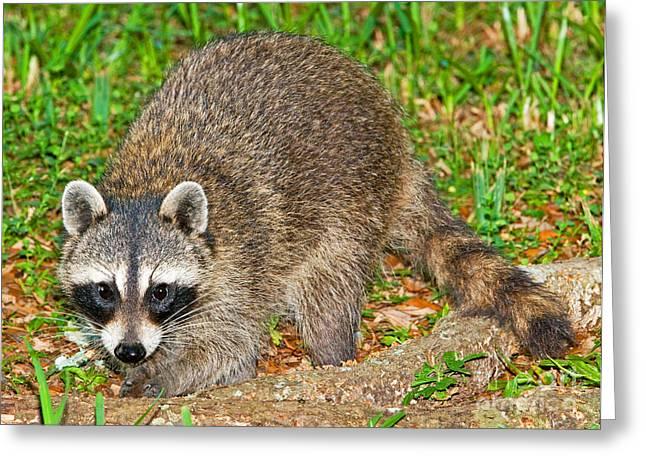 Raccoon Photographs Greeting Cards - Raccoon Greeting Card by Millard H. Sharp