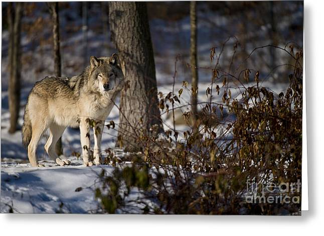 Canine Greeting Cards - Timber Wolf Greeting Card by Michael Cummings