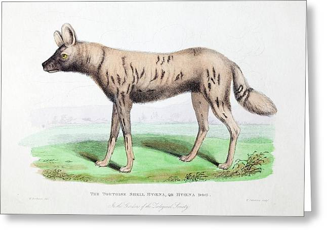 1830 First African Hunting Dog London Zoo Greeting Card by Paul D Stewart