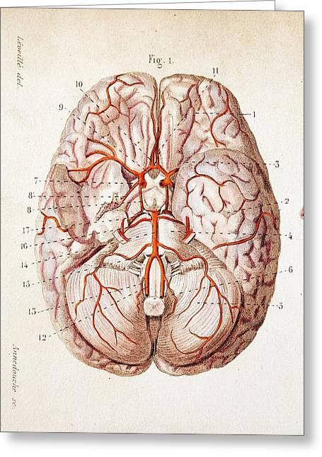 1840 Historical Image Brain Blood Supply Greeting Card by Paul D Stewart