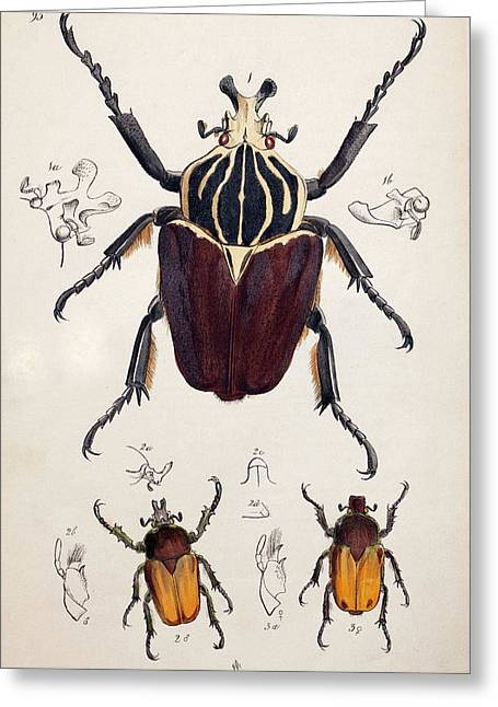 1845 Westwood Goliath Beetle Painting Greeting Card by Paul D Stewart