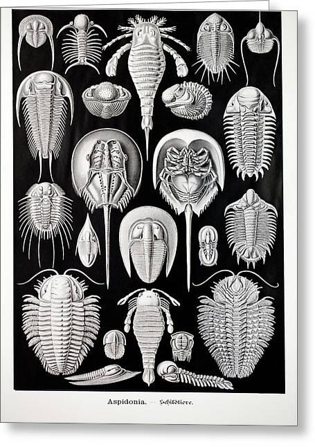 1899 Haeckel Aspidonia Trilobite Artwork Greeting Card by Paul D Stewart