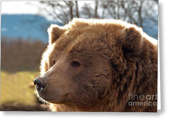 American Brown Bear Greeting Cards - Grizzly Bear Greeting Card by Mark Newman