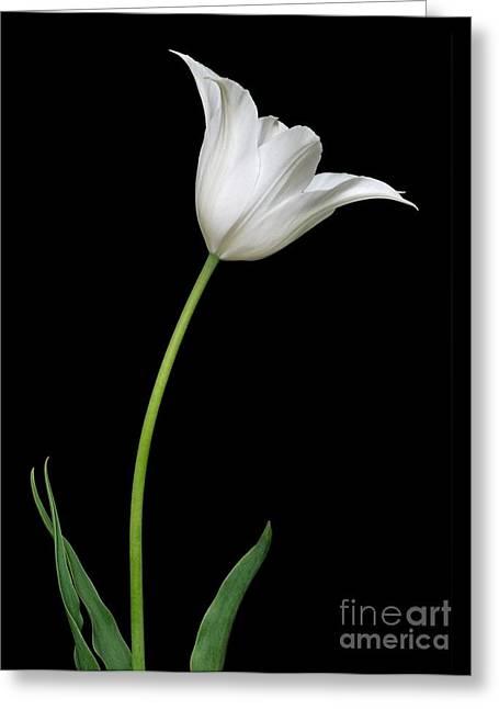 Spring Bulbs Greeting Cards - Tulip Tulipa Gesneriana Greeting Card by Dr. Nick Kurzenko