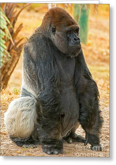 Critically Endangered Species Greeting Cards - Western Lowland Gorilla Greeting Card by Millard H. Sharp