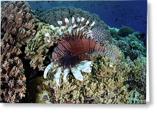 A Lionfish Swims Along The Edge Greeting Card by Ethan Daniels