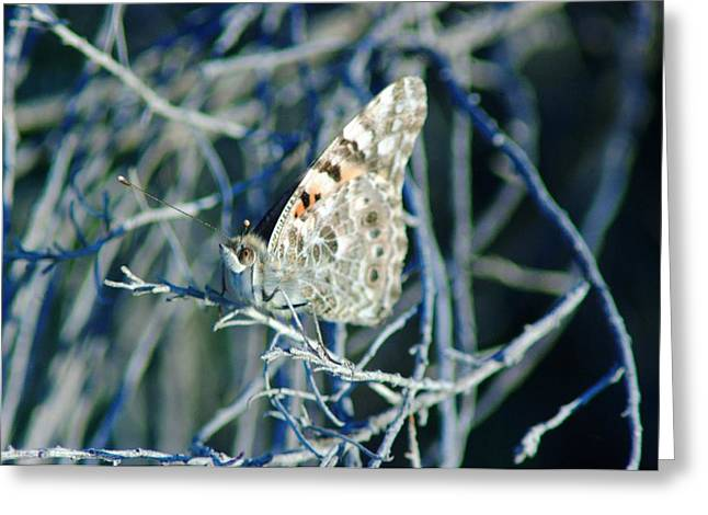 Painted Lady Butterflies Greeting Cards - A Painted Lady Greeting Card by Jeff  Swan