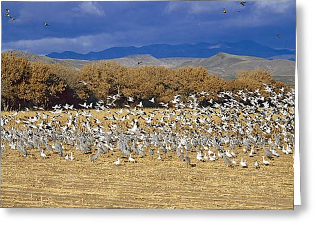 Wildlife Refuge. Greeting Cards - A Panoramic Of Thousands Of Migrating Greeting Card by Panoramic Images