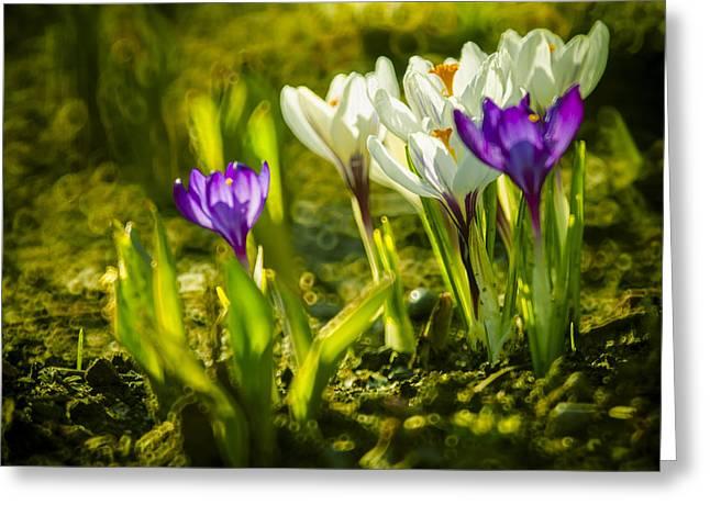 March Digital Art Greeting Cards - Abstract crocus background Greeting Card by Jaroslaw Grudzinski