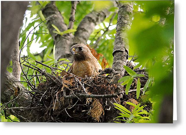 Red Shouldered Greeting Cards - Adult Red Shouldered Hawk Greeting Card by Jai Johnson