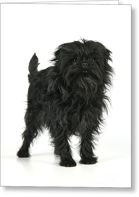 Toy Dog Greeting Cards - Affenpinscher Dog Greeting Card by John Daniels