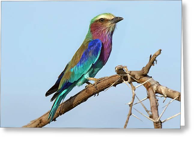 Africa, Tanzania, Serengeti Greeting Card by Charles Sleicher