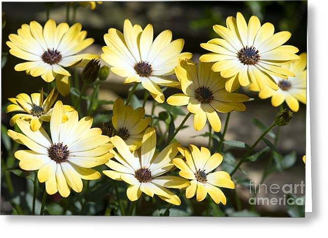 Buttermilk Greeting Cards - African Daisy Osteospermum Buttermilk Greeting Card by Dr. Keith Wheeler