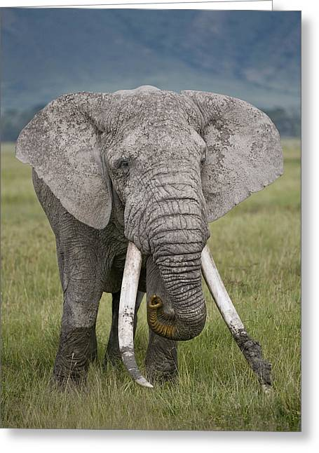 Zoology Greeting Cards - African Elephant Loxodonta Africana Greeting Card by Panoramic Images