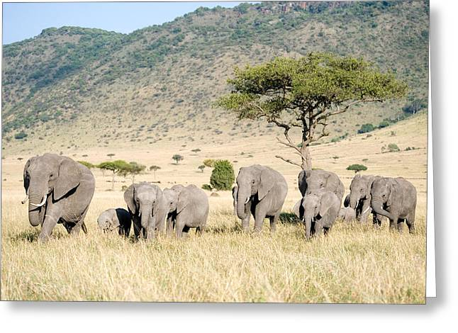 Medium Group Of Animals Greeting Cards - African Elephants Loxodonta Africana Greeting Card by Panoramic Images
