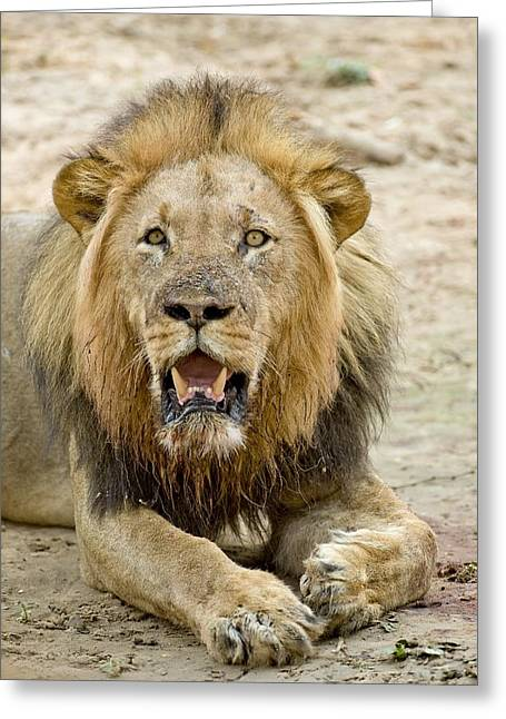 Zimbabwe Greeting Cards - African lion Greeting Card by Science Photo Library