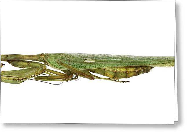 African Mantis Greeting Card by Science Photo Library