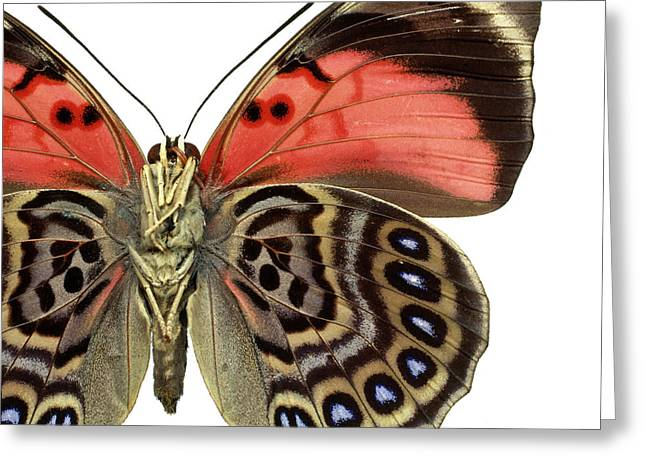 Agrias Claudina Greeting Card by Natural History Museum, London