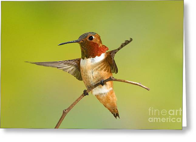 Science Collection - Greeting Cards - Allens Hummingbird Greeting Card by Anthony Mercieca