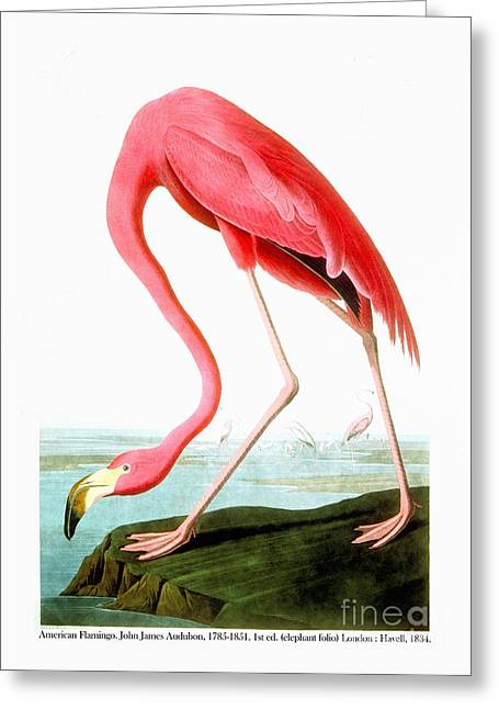 Wild Life Drawings Greeting Cards - American Flamingo Greeting Card by Celestial Images