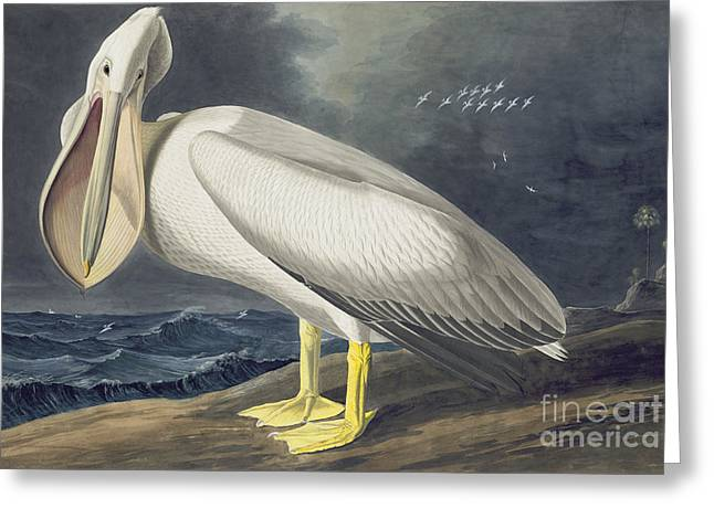 American White Pelican Greeting Card by Celestial Images