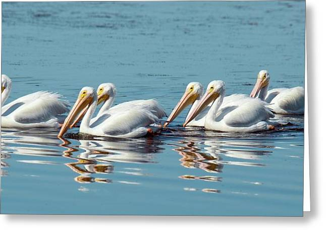 American White Pelicans Greeting Card by Bob Gibbons