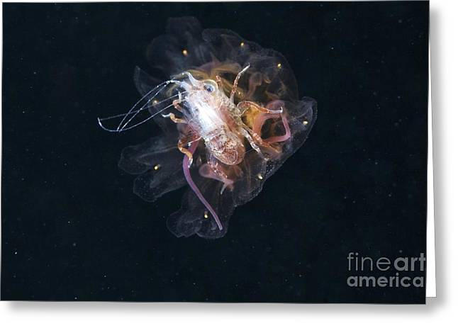 Medusa Greeting Cards - Amphipod Inside A Lions Mane Jellyfish Greeting Card by Alexander Semenov