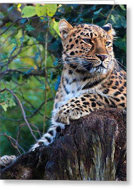 Amur Greeting Cards - Amur Leopard Greeting Card by Martin Newman