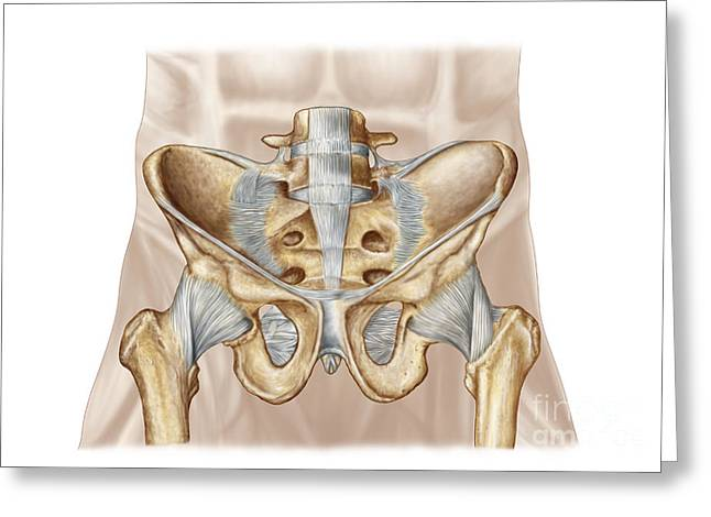 Human Joint Greeting Cards - Anatomy Of Human Pelvic Bone Greeting Card by Stocktrek Images