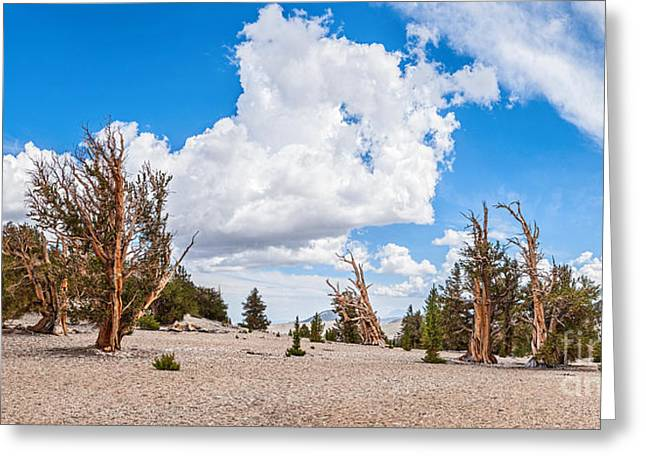 Patriarch Greeting Cards - Ancient Panorama - Bristlecone Pine Forest Greeting Card by Jamie Pham