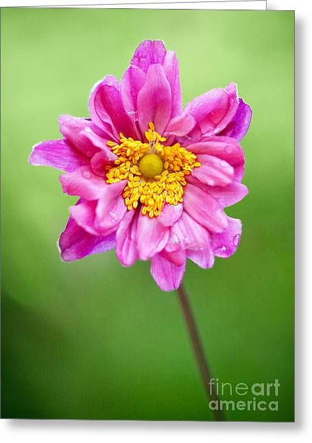 Pink Flower Prints Greeting Cards - Anemone Flower Greeting Card by Natalie Kinnear