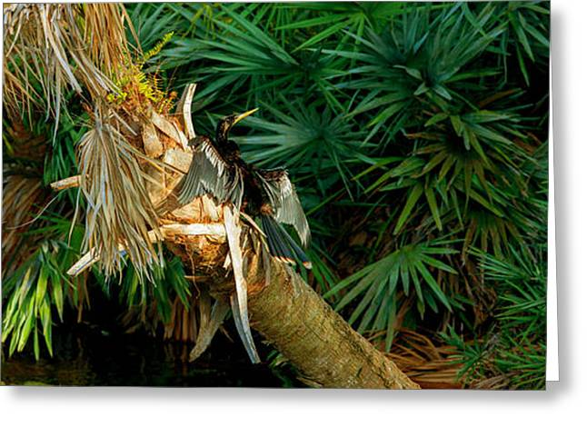 Florida Wildlife Photography Greeting Cards - Anhinga Anhinga Anhinga On A Tree Greeting Card by Panoramic Images
