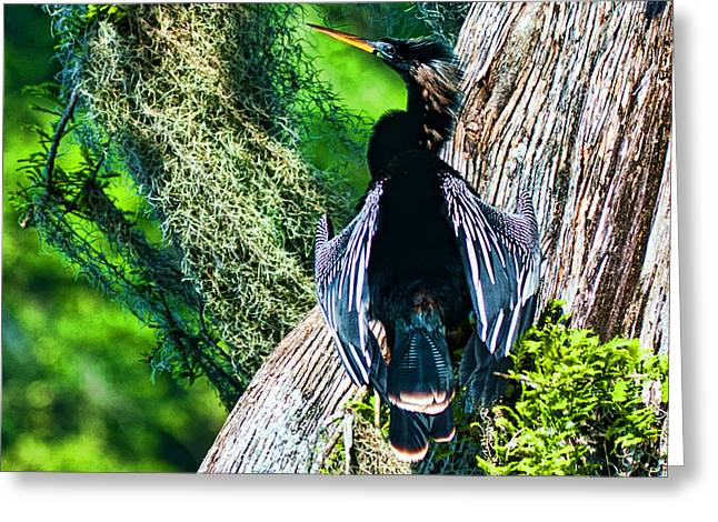 Frank Feliciano Greeting Cards - Anhinga on a Cyprus Greeting Card by Frank Feliciano