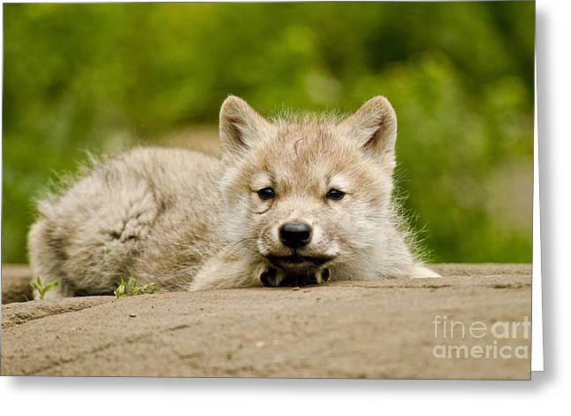 Arctic Wolf Greeting Cards - Arctic Wolf Pup Greeting Card by Michael Cummings