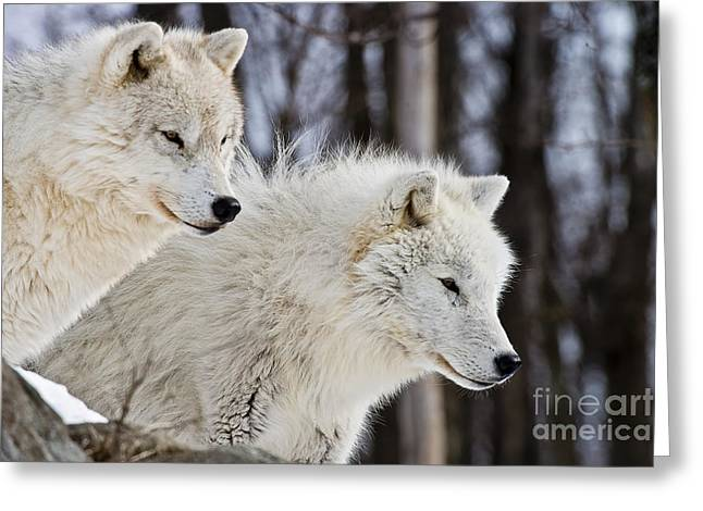 Arctic Wolf Greeting Cards - Arctic Wolves Greeting Card by Michael Cummings